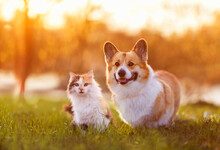 Cute Corgi Dog And Fluffy Cat Are Sitting On A Sunny Summer Day In A Meadow