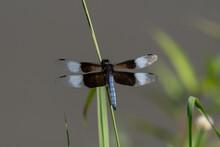 Widow Skimmer Dragonfly Resting On Blade Of Grass