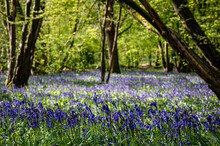 Bluebell Woods In Early Spring