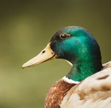 Brown And Green Mallard Duck In Close-up