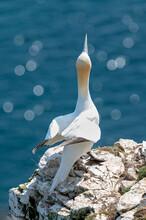 Gannet Sea Bird, Morus Bassanus, Perched On A Rock Looking Upwards