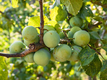 Set Of Green Plums Growing On The Branches Of A Plum Tree (Prunus)  Maturing During The Summer And Taking Yellow Tones For Later Collection, Surrounded By Green Leaves And Nature