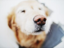 Golden Retriever Puppy Lying In Close Up