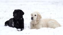 Two Labrador Retrievers On Snow Covered Ground