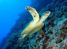 Underwater Shot Of Turtle Swimming