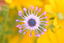 Osteospermum, Commonly Known As African Daisy, Flat Lay, Yellow Background