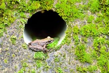 Swinhoe's Frog(Odorrana Swinhoana)(Boulenger, 1903)