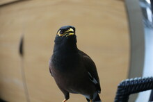 Myna, The Bird Commonly Seer In Singapore