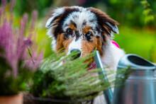 Portrait Of A Cute Australian Shepherd With Heathers In The Garden.
