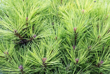 Branches Of A Beautiful Pine Tree In The Forest
