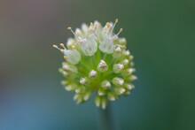 Macro Of A Onion Flower