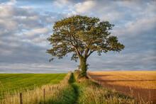 Solitary Oak Tree On A Public Footpath In North Norfolk, England