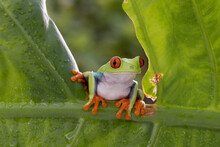 Red Eye Tree Frog Slowly Moving Across The Tree Branch