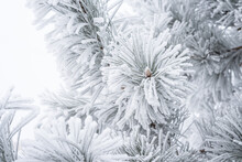 Spruce Branches Are Covered With Fluffy Snow. Macro