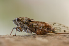 Close Up From Of A Cicardid With Brown Tree Bark In The Background
