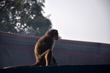 Stock Photo Of Grey Hair Indian Monkey Sitting On The Roof Of The Building And Eating Something At Yadgir, Karnataka, India. Blur Background. Selective Focus.