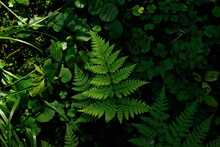 Close Up Flat Lay Of Fern Leaf In The Forest Top View