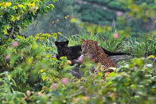 Panther And Leopard In Jungle