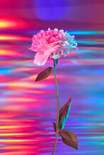 Peony With Reflective Holographic Foil