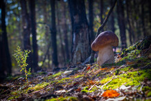 One Mushroom Grow In Coniferous Forest