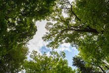 Wide-angle Low Canopy Shot In Green Forest, Upwards View To The Treetops With Green Foliage And Blue Sky An White Clouds Behind