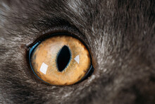 Close Up Funny Curious Black Silver Tabby Maine Coon Cat Eye. Coon Cat, Maine Cat, Maine Shag. Amazing Pets Pet