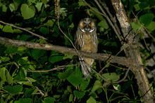 A Long Eared Owl (Asio Otus)