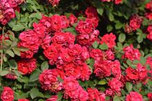 Closeup Shot Of A Shrub Of Beautiful Red Garden Roses