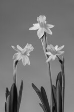 Vertical Grayscale Closeup Shot Of Blooming Daffodils