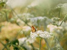 Meadow Brown Butterfly Feeding