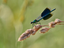 Male Damselfly Perched On Wild Grass