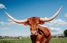Red Longhorn Cow Looking At Camera
