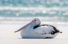 Pelican Resting On A Beach With The Surf In The Background. Scientific Name Pelecanus Conspicillatus