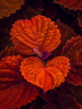 Close Up Of An Orange And Red Coleus