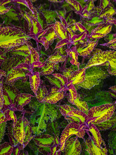 Close Up Of A Magenta, Green And Yellow Coleus
