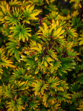 Close Up Of A Green, Yellow And Orange Coleus