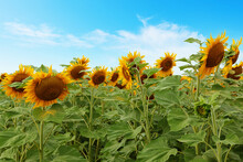 Large Sunflowers In Field