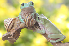 Two Dumpy Tree Frogs Resting In The Bushes. This Green Amphibian Has The Scientific Name Litoria Caerulea.