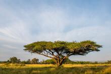 Flat Crown Albizia Tree In Summer Grassland