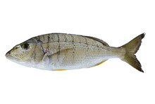 Striped Seabream Fish Isolated On A White Background With Free Space For Text