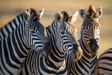 Burchell's Zebra's Greeting One Another By Nuzzling