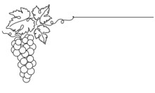 Bunches Of Grapes And Leaves. Vine. Vector Line Drawing On White Or Transparent Background