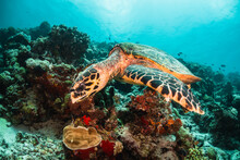 Turtle Underwater Feeding On Coral In The Wild