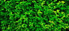 Close Up 20:9 Horizontal Banner Shrub,small Round Foliage,deep Bright Green Shades.Texture For Photo,desktop Wallpapers,smartphone Screen.Natural Leaves Carpet .Leaf Cover Design,eco-friendly Pattern