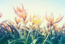 Blooming Tulips Tarda (Tulipa Tarda) In Purple Light In Spring. Bottom View. Nature Background