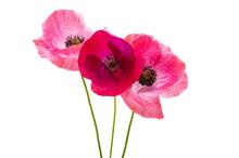 Beautiful Poppy Flowers Isolated