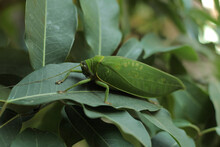 Leaf-mimic Katydid Really Commits To Its Ability To Hide In Plain Sight.