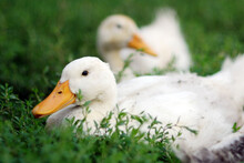 White Ducks Resting In The Grass