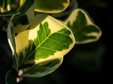 Mistletoe Rubber Plant Leaves Growing