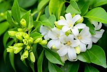 White Flower Of Andaman Satinwood, Chanese Box Tree, Cosmetic Bark Tree, Orange Jasmine, Orange Jessamine, Satin Wood (Murraya Paniculata Jack)